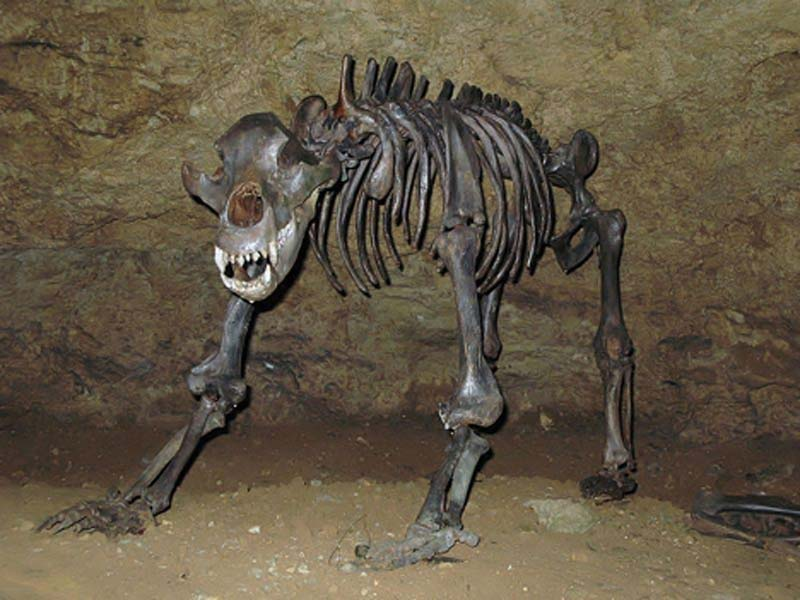Cave bear fossil (Ursus spelaeus), a relative of the brown bear and polar bear from the Pleistocene epoch in Europe. (Public Domain)