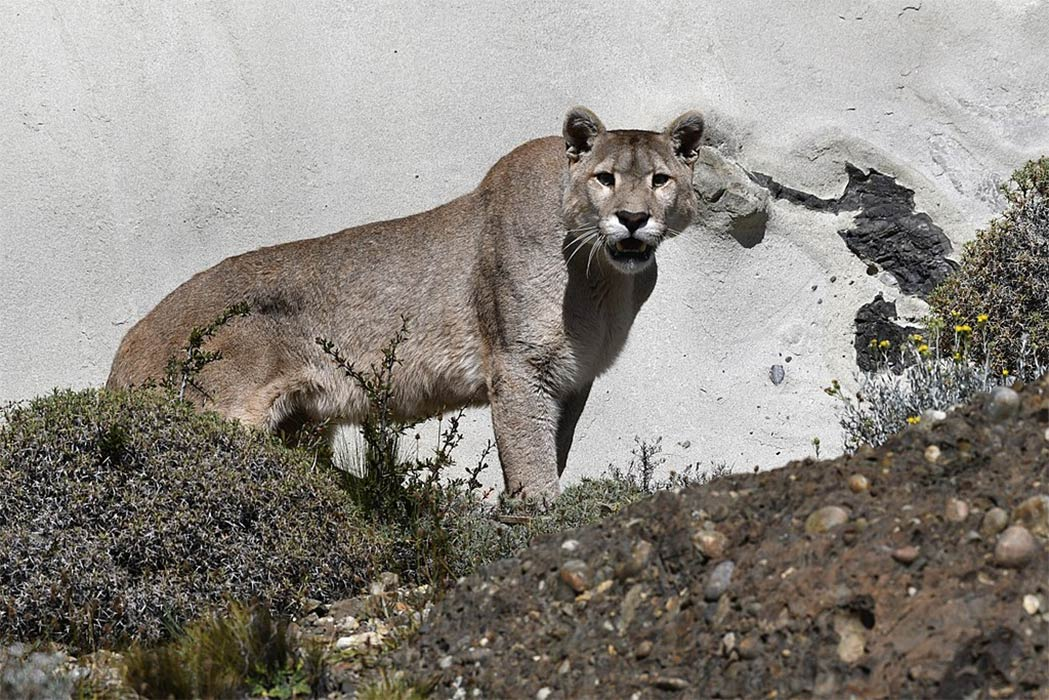 South American cougar at Torres del Paine National Park, in the Chilean part of Patagonia (Wolves201/ CC BY-SA 4.0)