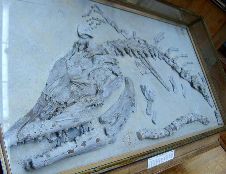 Clidastes velox fósil, Museo Nacional de Historia Natural de Francia, París, France. (FunkMonk/ CC BY-SA 3.0)