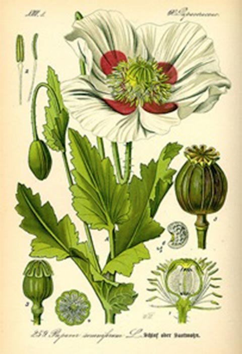 Papaver somniferum, commonly known as the opium poppy is native to the eastern Mediterranean but is now naturalized across much of Europe and Asia. (Public Domain)
