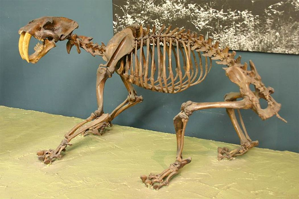 Smilodon is one of the most famous prehistoric mammals and the best-known saber-toothed cat, more commonly known as the saber-toothed tiger, that lived in the Americas during the Pleistocene epoch (2.5 mya – 10,000 years ago).(CC BY-SA 2.0)