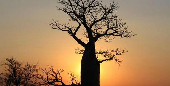 Boab tree sunset near Derby, Western Australia (Summerdrought / CC BY-SA 4.0)